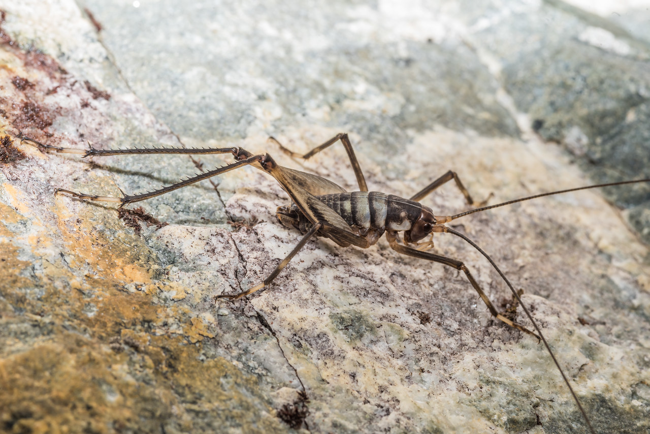 Pharmacus dumbletoni, adult male. Gloriana Peak, Spenser Mountains.