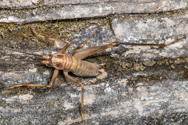 Cave wētā / tokoriro (Pharmacus montanus) adult male. Poverty Basin, Mount Owen, Kahurangi National Park.