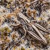 New Zealand Grasshopper (Phaulacridium marginale). Korowai / Torlesse Tussocklands Park, Canterbury.