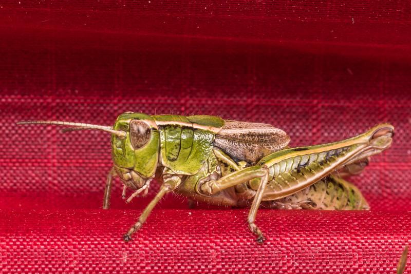 New Zealand grasshopper (Phaulacridium marginale). Junction Flat, Matukituki River East Branch, Mount Aspiring National Park.