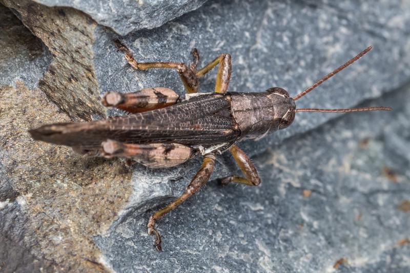 New Zealand grasshopper (Phaulacridium marginale), macropterous form. Mount Saint Bathans, Central Otago.