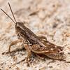 New Zealand grasshopper (Phaulacridium marginale). Deep Stream, Otago.