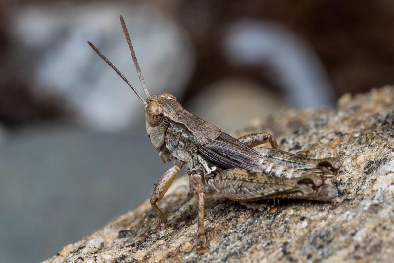 New Zealand grasshopper (Phaulacridium marginale). Earnscleugh Tailings, Alexandra, Central Otago.