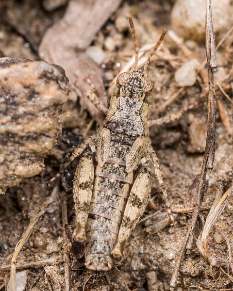 Phaulacridium otagense, a short-horned grasshopper. Hawksburn Road lookout, Alexandra, Central Otago.