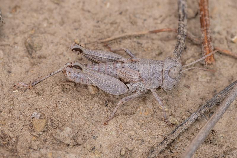 Short-horned grasshopper (Phaulacridium otagense). Pukaki River, MacKenzie Basin
