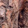Cave wētā / tokoriro (Pleioplectron spp.) males. Three Pointer, Heaphy Track, Kahurangi National Park.