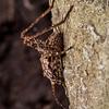 Cave wētā / tokoriro (Pleioplectron spp.). Lewis Pass.