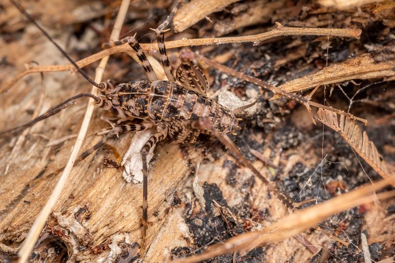 Pleioplectron auratum adult male. Waihopai River, Blenheim.