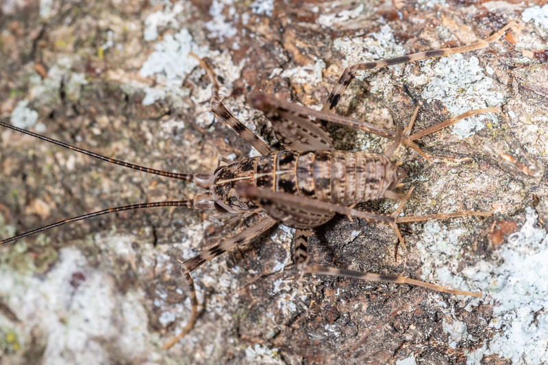 Pleioplectron auratum adult male. New Renwick Rd, Blenheim.