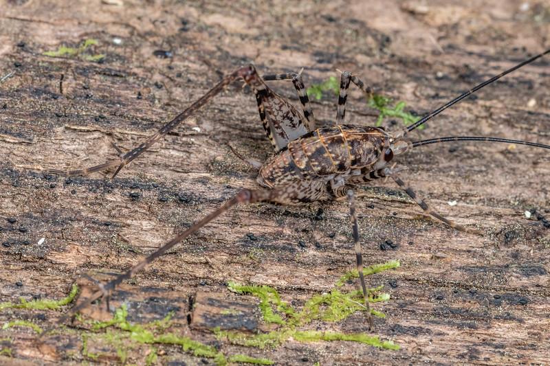 Cave wētā / tokoriro (Pleioplectron auratum) male. Bob's Bay Track, Picton.