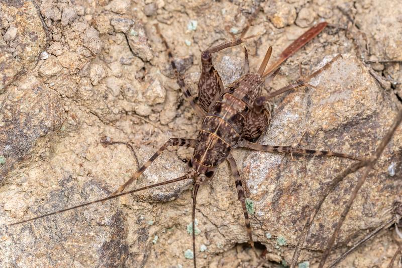 Cave wētā / tokoriro (Pleioplectron auratum) female nymph. Bob's Bay Track, Picton.