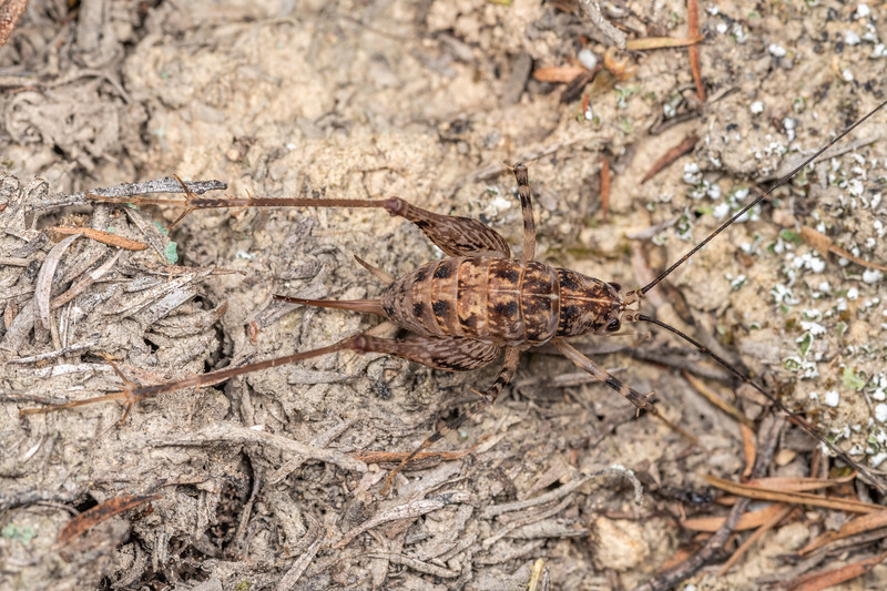Cave wētā / tokoriro (Pleioplectron auratum) adult female. Bob's Bay Track, Picton.