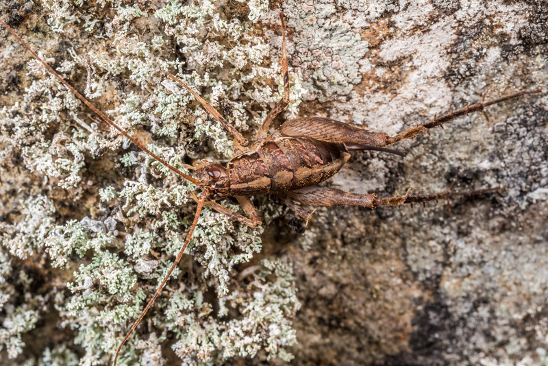Cave wētā / tokoriro (Pleioplectron crystallae) female. Cave Brook, Gouland Downs, Kahurangi National Park.