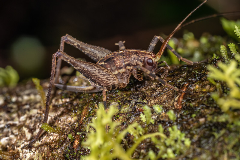 Cave wētā / tokoriro (Pleioplectron flavicorne) sub-adult female. Blowfly Hut, Moeraki River, Westland.