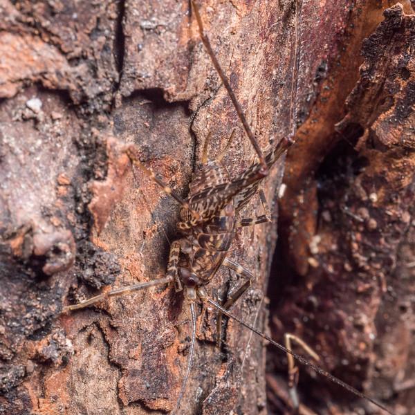 Cave wētā / tokoriro (Pleioplectron gubernator) males. Three Pointer, Heaphy Track, Kahurangi National Park.