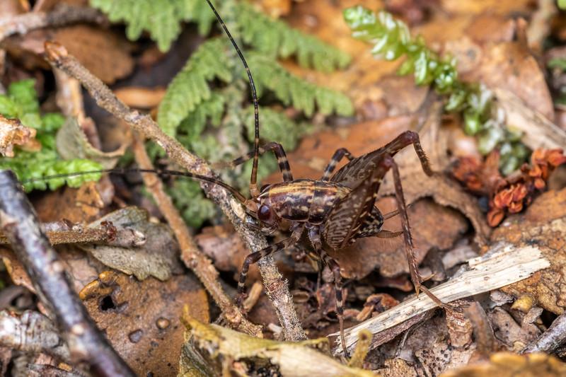 Cave wētā / tokoriro (Pleioplectron gubernator) male. Bulmer Creek, Mt Owen, Kahurangi National Park.