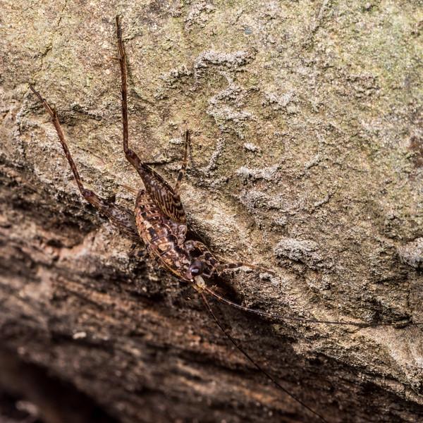 Cave wētā / tokoriro (Pleioplectron gubernator). Lewis Pass.