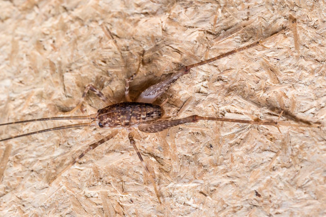 Cave wētā / tokoriro (Pleioplectron simplex). Hinewai Reserve, Akaroa, Banks Peninsula.