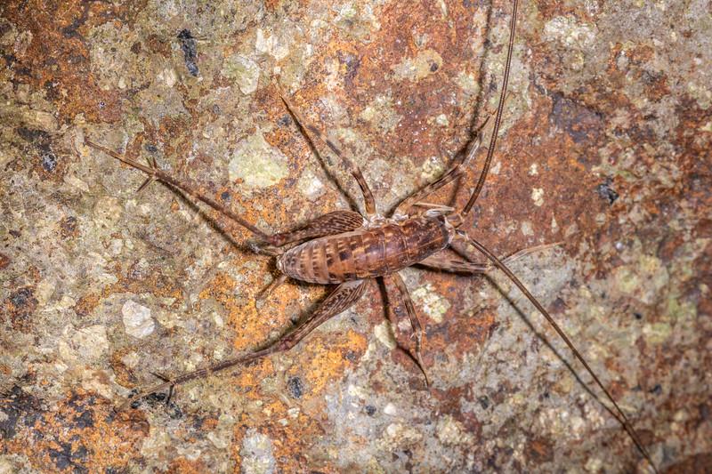 Pleioplectron simplex adult male. Hinewai Reserve, Akaroa, Banks Peninsula.