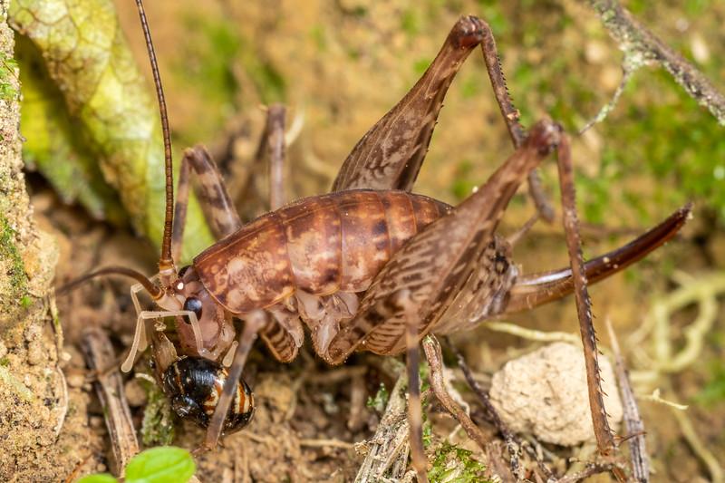 Pleioplectron simplex adult female feeding on a snail, Flammulina zebra. Hinewai Reserve, Akaroa, Banks Peninsula.
