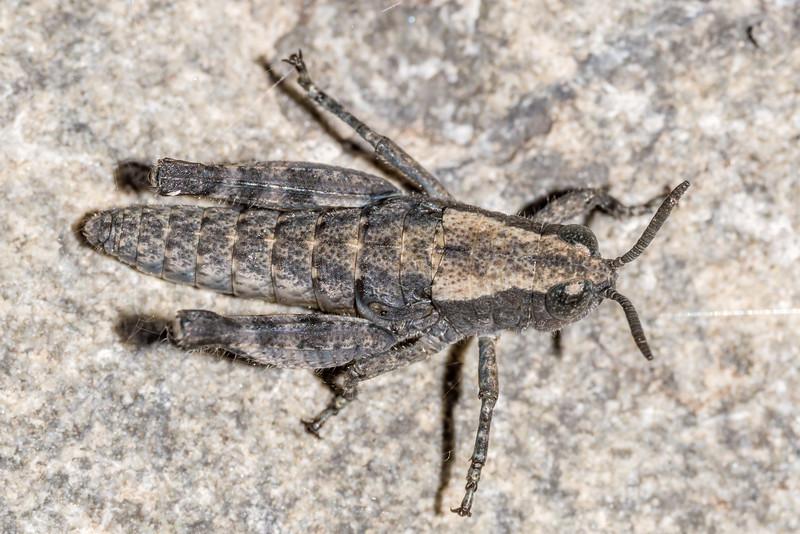 Short-horned grasshopper (Sigaus spp., undescribed). Hapuku River, Seaward Kaikoura Range.