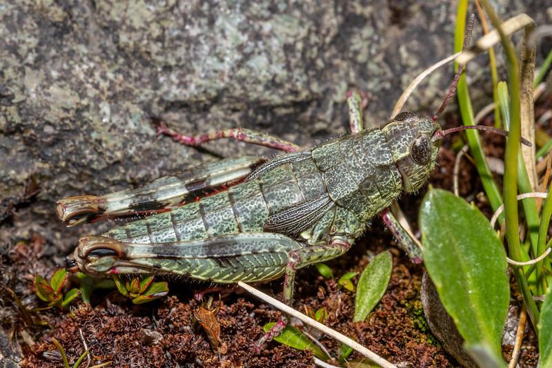 Grasshopper (Sigaus spp.). Pt 1552m, Skippers Range, Fiordland National Park.