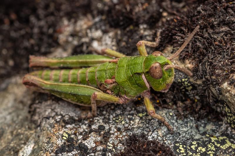 Grasshopper (Sigaus australis). Mount Somers, Canterbury.