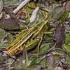 Short-horned grasshopper (Sigaus australis). Mount Wakefield, Aoraki / Mount Cook National Park.