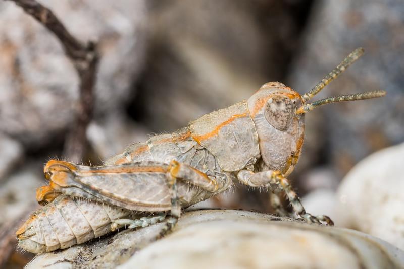 Sigaus childi, a short-horned grasshopper. Alexandra, Central Otago.