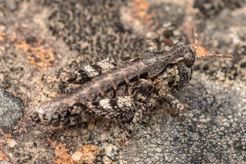 Grasshopper (Sigaus minutus). Lake Tekapo Scientific Reserve, MacKenzie Country.