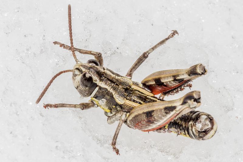 Male short-horned grasshopper (Sigaus obelisci). Ben Nevis, Hector Mountains