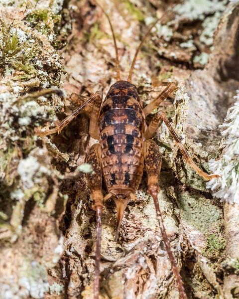 Talitropsis chopardi female. Bog Burn, Takitimu Forest.