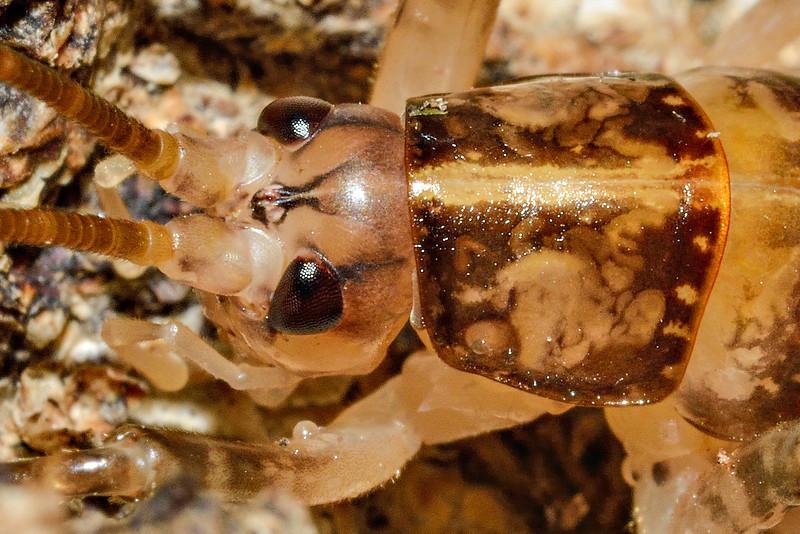 Female cave wētā / tokoriro (Talitropsis sedilloti). Caples River, Mount Aspiring National Park.