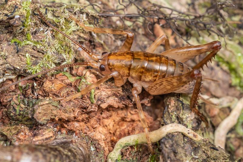 Cave wētā / tokoriro (Talitropsis sedilloti) adult male. Smoothwater Bay, South Westland.