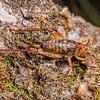 Cave wētā / tokoriro (Talitropsis sedilloti) female. Saxon Hut, Heaphy Track, Kahurangi National Park.