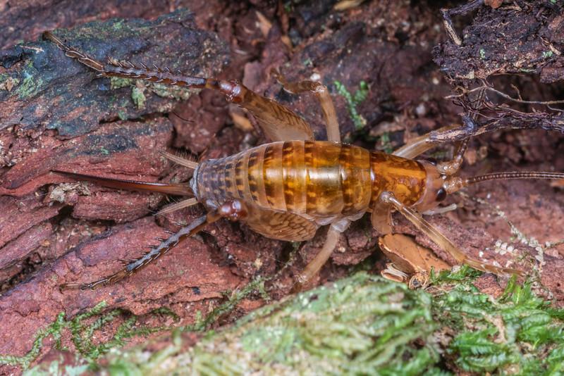 Cave wētā / tokoriro (Talitropsis sedilloti) adult female. Lake Hankinson Hut, Fiordland National Park.