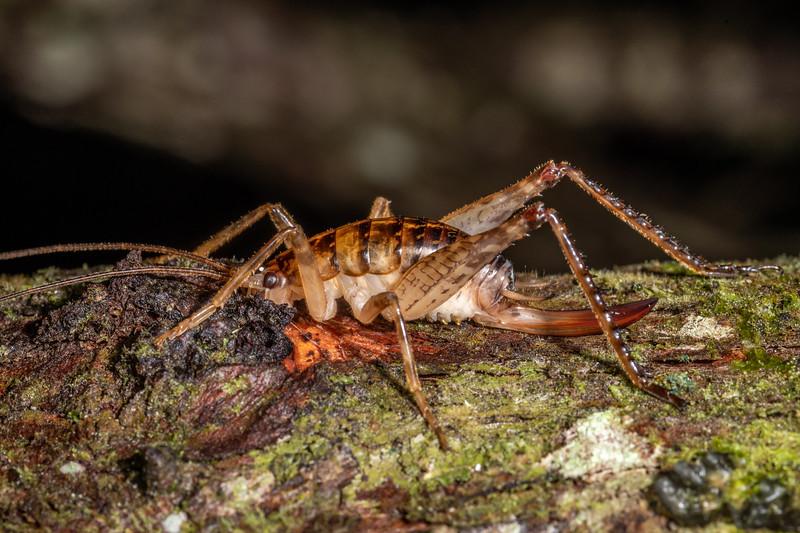 Cave wētā / tokoriro (Talitropsis sedilloti) adult female. Waipu Caves Track, Northland.