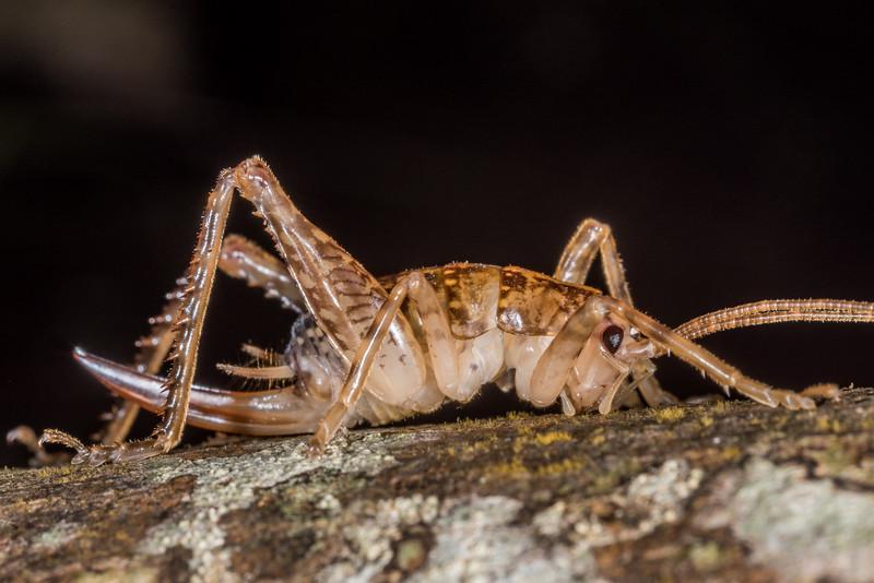 Cave wētā / tokoriro (Talitropsis sedilloti) female. Shallow Bay, Lake Manapouri, Fiordland National Park.