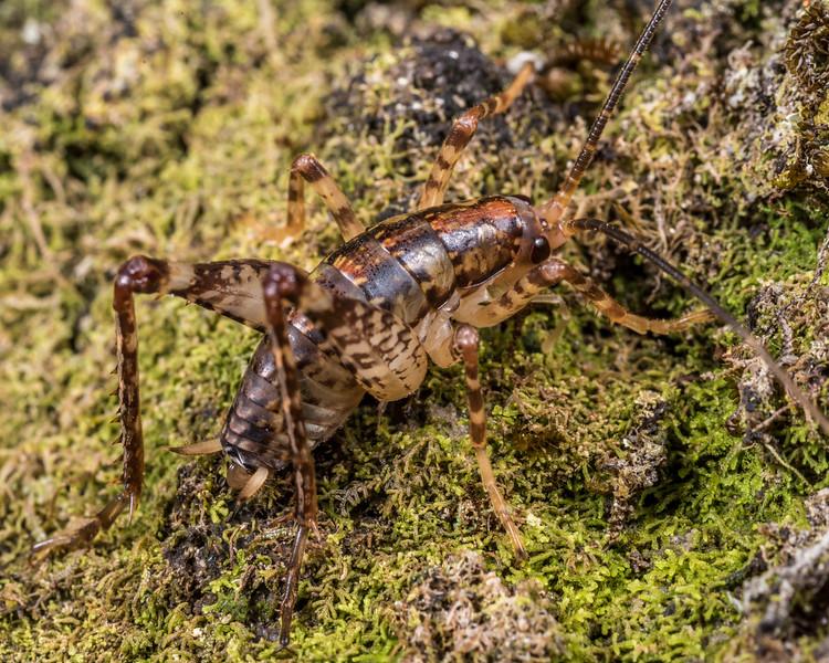 Cave wētā / tokoriro (Talitropsis sedilloti) male nymph. Cave Brook, Gouland Downs, Kahurangi National Park.
