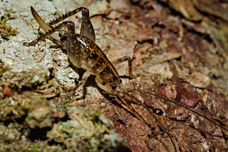 Female cave wētā / tokoriro (Talitropsis sedilloti). Body length approx 1.5cm. I found about 4 or 5 of these on the tree. Caples River, Mount Aspiring National Park.