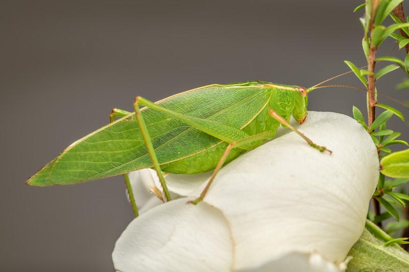 Common garden katydid (Caedicia simplex) adult male. Waihi.