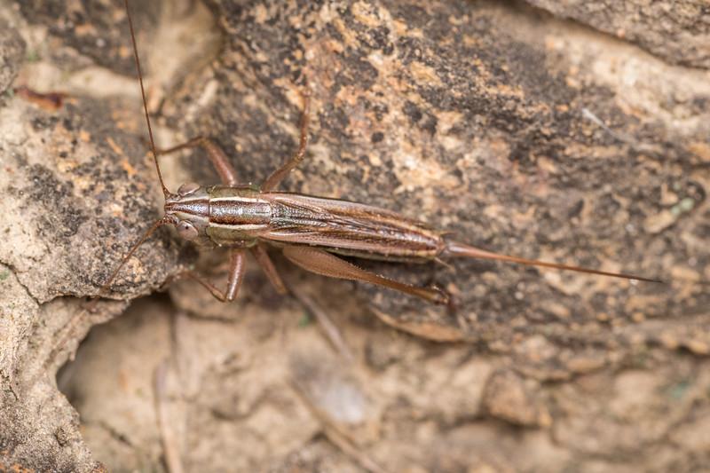 Conocephalus albescens. Onamalutu Rd, Blenheim, Marlborough.