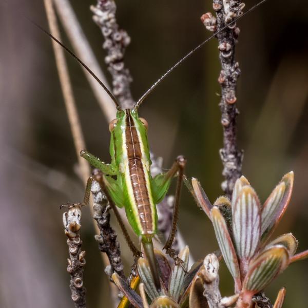 Field grasshopper (Conocephalus bilineatus). Korowai / Torlesse Tussocklands Park, Canterbury.