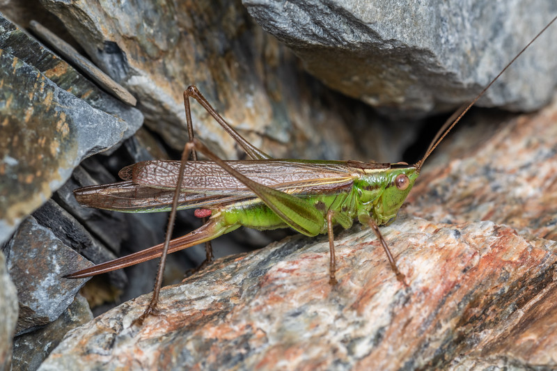 Field grasshopper (Conocephalus bilineatus), macropterous form. Mount Saint Bathans, Central Otago.