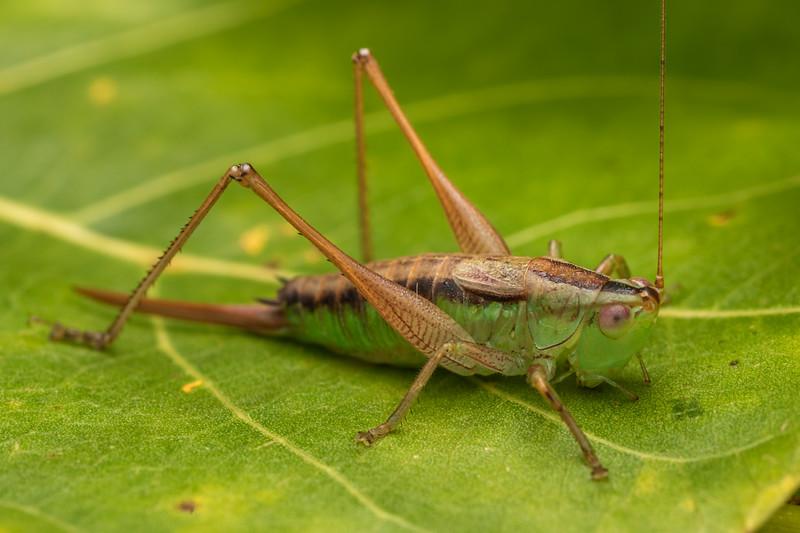 Blackish meadow katydid (Conocephalus semivittatus) adult female. Coromandel, Coromandel Peninsula.