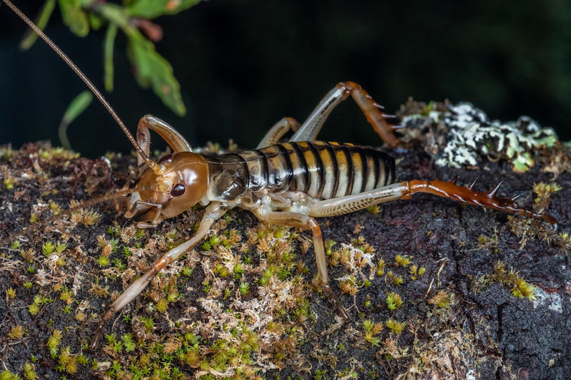 Wellington tree wētā (Hemideina crassidens) male nymph. Blue Creek, Mount Owen, Kahurangi National Park.