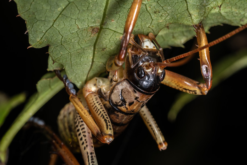 Auckland tree wētā (Hemideina thoracica). Mohi Bush, Havelock North.