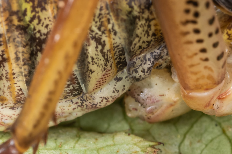 Auckland tree wētā (Hemideina thoracica). Detail of stridulatory ridges. Mohi Bush, Havelock North.