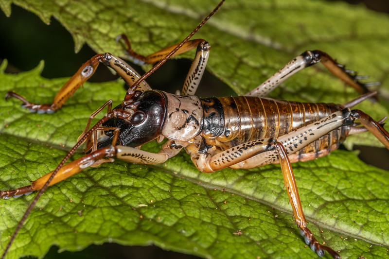 Auckland tree wētā (Hemideina thoracica) male. Sledge Track, Palmerston North.
