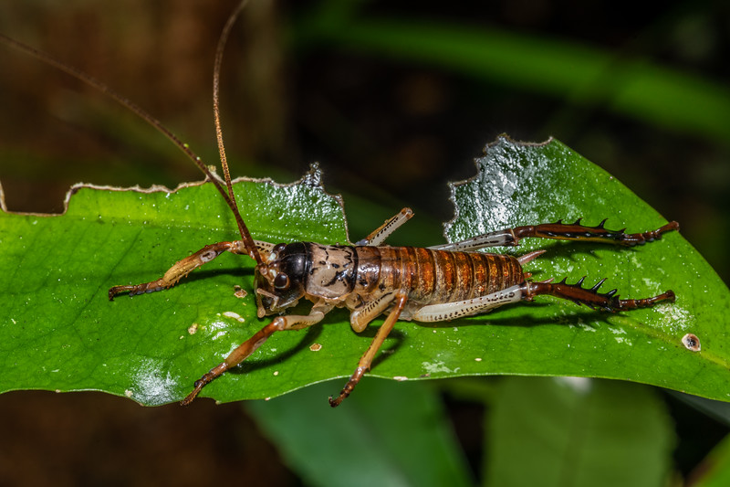 Auckland tree wētā (Hemideina thoracica) male. Peach Cove, Whangarei Heads, Northland.